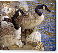 Acrylic Print featuring the photograph Canada Geese by Joseph Skompski