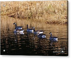 Canada Geese Acrylic Print by Sharon Talson