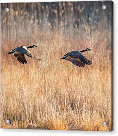 Canada Geese Square Acrylic Print