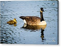 Canada Goose And Gosling Acrylic Print by Dawna  Moore Photography