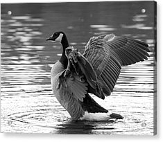 Canada Goose Black And White Acrylic Print