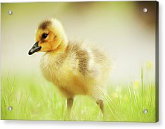 Canada Goose Gosling In May Acrylic Print