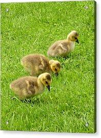 Canada Goose Goslings Acrylic Print