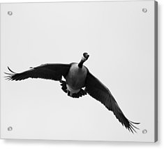 Canada Goose In Black And White Acrylic Print by Brian Magnier