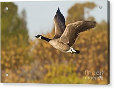 Acrylic Print featuring the photograph Canada Goose In The Skies  by Bryan Keil