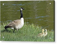 Canada Goose Mom With Goslings Acrylic Print by Bruce Gourley