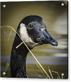 Canada Goose Portrait Square Acrylic Print by Bradley Clay