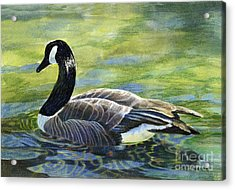 Canada Goose Reflections Acrylic Print by Sharon Freeman