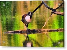 Canada Goose Spring Reflection Acrylic Print