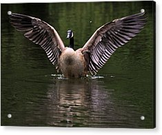 Canada Goose Wing Display - C3448d Acrylic Print by Paul Lyndon Phillips