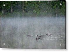 Canada, Quebec Canada Geese In Fog Acrylic Print