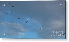 Canadian Geese 1 Of 3 Acrylic Print by Janet Otto
