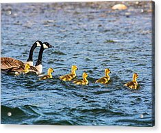 Canadian Geese And Goslings Acrylic Print by Omaste Witkowski