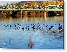 Canadian Geese Flock To The Old Arch Street Bridge  Acrylic Print by Gene Walls