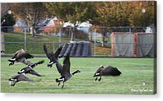 Acrylic Print featuring the photograph Canadian Geese Taking Flight by Robert Banach