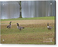 Canadian Geese Tourists Acrylic Print by Joseph Baril