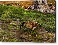 Canadian Goose 9382 F S Acrylic Print by James Ahn