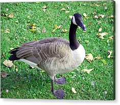 Canadian Goose Acrylic Print by Aimee L Maher Photography and Art Visit ALMGallerydotcom
