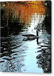 Canadian Goose At Burden  Acrylic Print