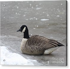 Canadian Goose In Winter Time In Manhassett Park Acrylic Print by John Telfer