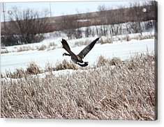 Acrylic Print featuring the photograph Canadian Goose by Ryan Crouse