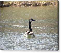 Canadian Goose Swimming Acrylic Print by Cim Paddock