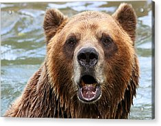 Canadian Grizzly Acrylic Print