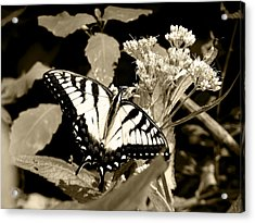 Canadian Tiger Swallowtail In Sepia Acrylic Print