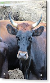 Canadienne Cow Acrylic Print