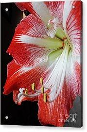 Candy Cane Amaryllis Acrylic Print