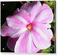 Candy Cane Impatiens Acrylic Print by Barbara Griffin