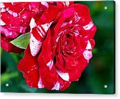 Candy Cane Rose Flower Acrylic Print by Johnson Moya