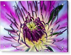 Candy Stripe Clematis Acrylic Print