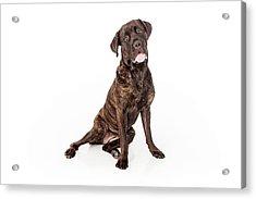 Cane Corso Dog Sitting To Side Acrylic Print by Susan Schmitz