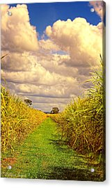 Acrylic Print featuring the photograph Cane Fields by Wallaroo Images