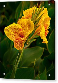 Canna Blossom Acrylic Print