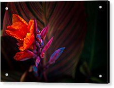 Canna Lilly At Freimann Square Acrylic Print by Gene Sherrill