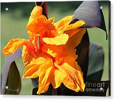 Canna Lily Named Wyoming Acrylic Print by J McCombie