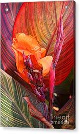 Canna Lily's New Growth Acrylic Print by Kenny Bosak