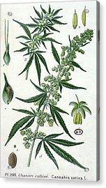 Cannabis Acrylic Print by French School