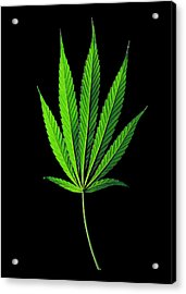 Cannabis Sativa Indica Leaf Acrylic Print