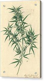 Cannabis Sativa Acrylic Print