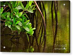 Canoeing Through Quiet Mangroves Acrylic Print by Matt Tilghman