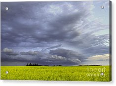Canola And Storm Acrylic Print by Dan Jurak