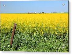 Canola Field Acrylic Print by Pattie Calfy