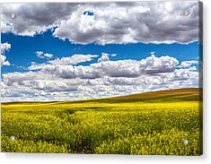 Canola Fields Acrylic Print by Robert Bynum