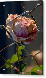 Acrylic Print featuring the photograph Can't Fence Me In - Faded Rose Art Print by Jane Eleanor Nicholas