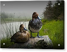 Canvasback Duck Pair By A Pond Acrylic Print