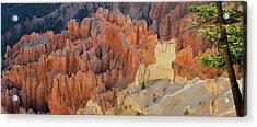 Canyon Pine Acrylic Print