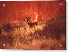 Canyonland Mule Deer Acrylic Print by T C Brown